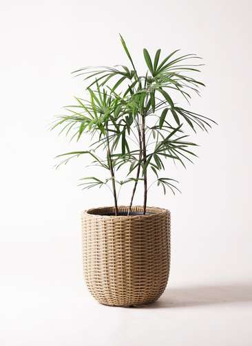 観葉植物 シュロチク(棕櫚竹) 8号 ウィッカーポットエッグ ベージュ 付き