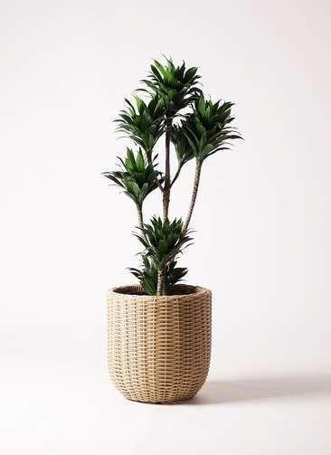 観葉植物 ドラセナ コンパクター 8号 ウィッカーポットエッグ ベージュ 付き