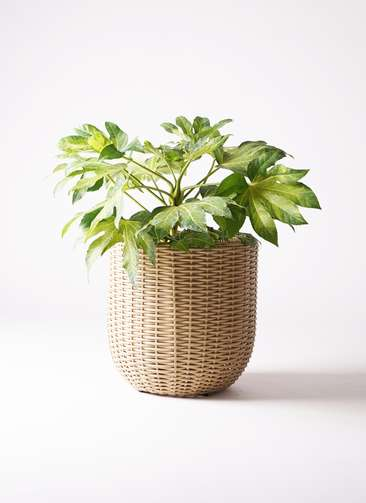 観葉植物 ヤツデ 7号 ウィッカーポットエッグ ベージュ 付き