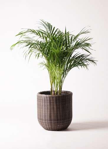 観葉植物 アレカヤシ 8号 ウィッカーポットエッグ 茶 付き