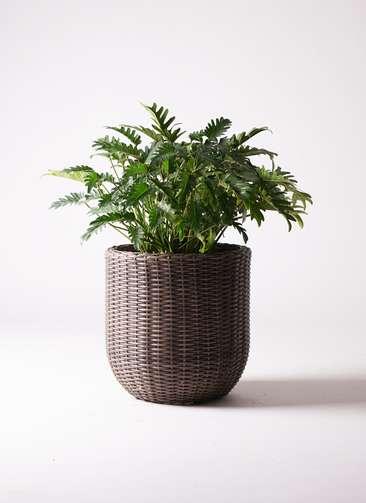 観葉植物 クッカバラ 7号 ウィッカーポットエッグ 茶 付き