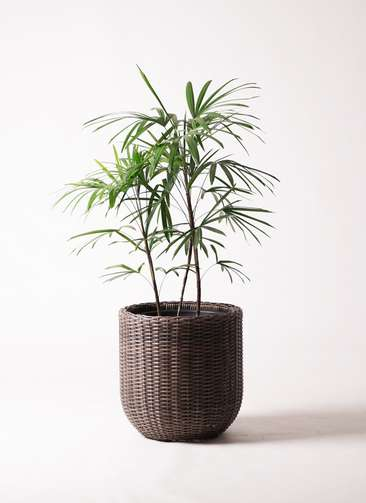 観葉植物 シュロチク(棕櫚竹) 8号 ウィッカーポットエッグ 茶 付き