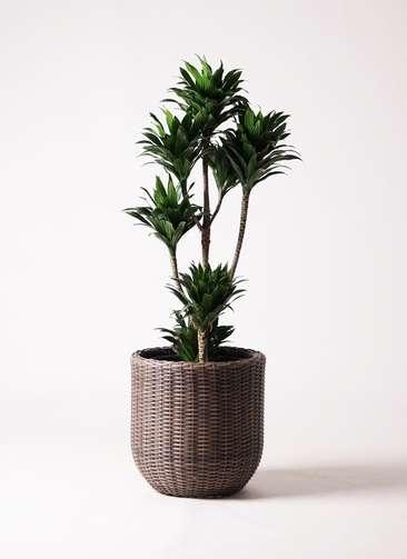 観葉植物 ドラセナ コンパクター 8号 ウィッカーポットエッグ 茶 付き