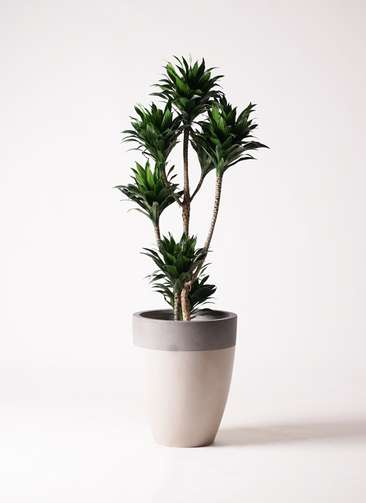 観葉植物 ドラセナ コンパクター 8号 ファイバーストーンカプリ サンディホワイト 付き