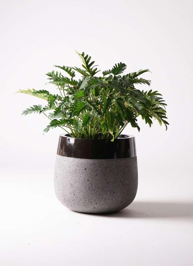 観葉植物 クッカバラ 7号 ファイバーストーンタウルス 黒 付き