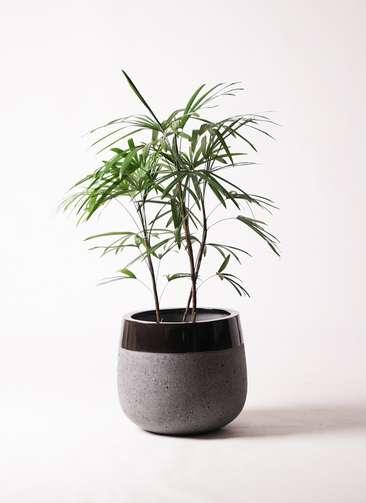 観葉植物 シュロチク(棕櫚竹) 8号 ファイバーストーンタウルス 黒 付き
