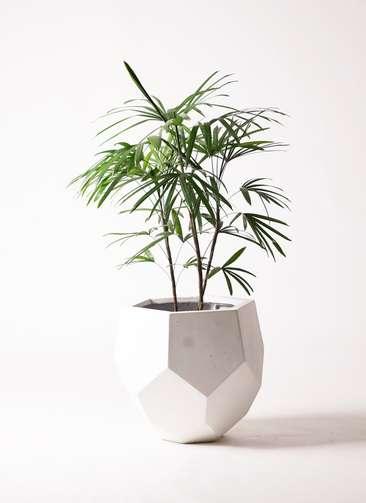 観葉植物 シュロチク(棕櫚竹) 8号 ポリゴヘクサ 白 付き