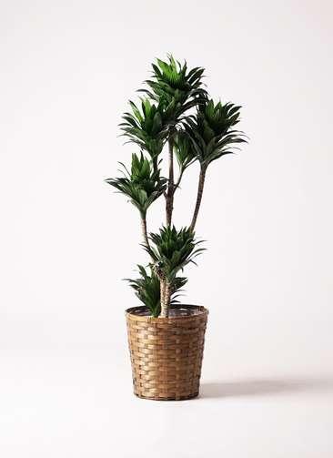 観葉植物 ドラセナ コンパクター 8号 竹バスケット 付き
