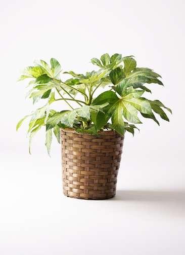 観葉植物 ヤツデ 7号 竹バスケット 付き