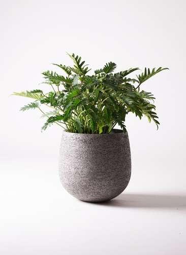 観葉植物 クッカバラ 7号 エコストーンGray 付き