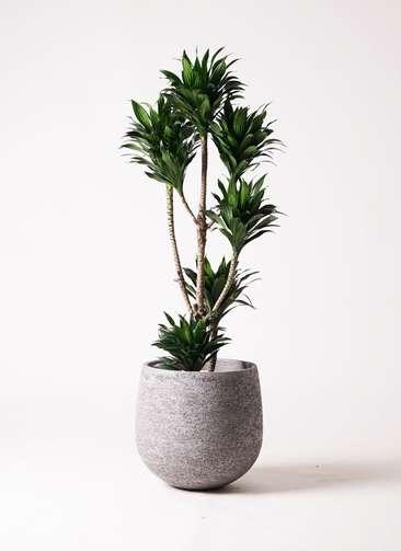 観葉植物 ドラセナ コンパクター 8号 エコストーンGray 付き