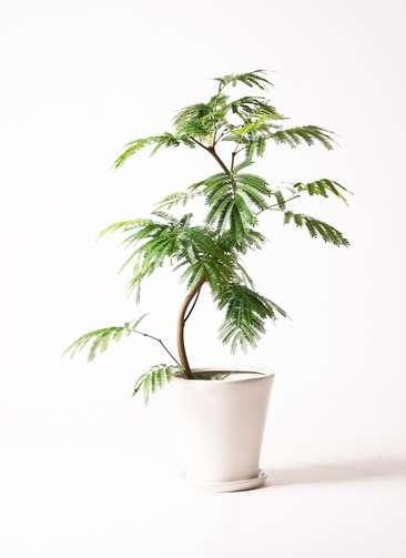 観葉植物 エバーフレッシュ 8号 曲り サブリナ 白 付き