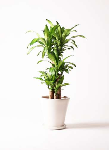 観葉植物 ドラセナ 幸福の木 8号 ノーマル サブリナ 白 付き