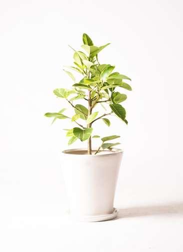 観葉植物 フィカス アルテシーマ 7号 ストレート サブリナ 白 付き