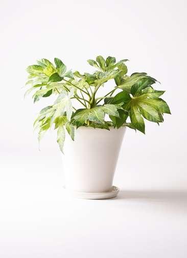 観葉植物 ヤツデ 7号 サブリナ 白 付き