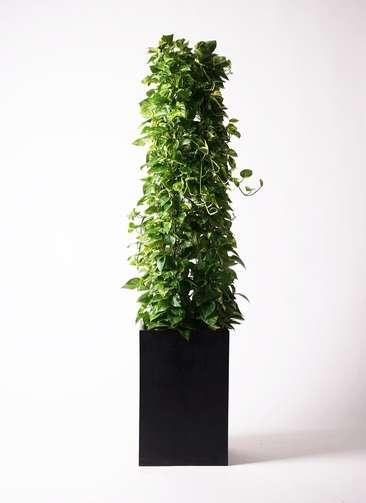 観葉植物 ポトス 10号 セドナロング 墨 付き