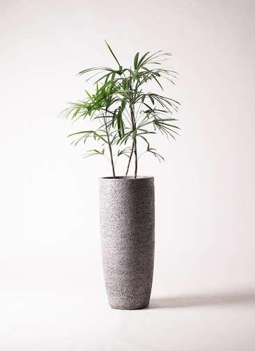 観葉植物 シュロチク(棕櫚竹) 8号 エコストーントールタイプ Gray 付き