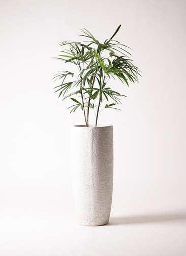 観葉植物 シュロチク(棕櫚竹) 8号 エコストーントールタイプ white 付き