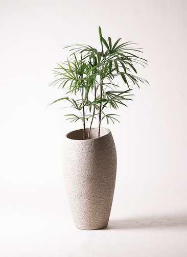 観葉植物 シュロチク(棕櫚竹) 8号 エコストーントールタイプ Light Gray 付き