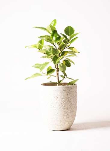 観葉植物 フィカス アルテシーマ 7号 ストレート ビアスアルトエッグ 白 付き