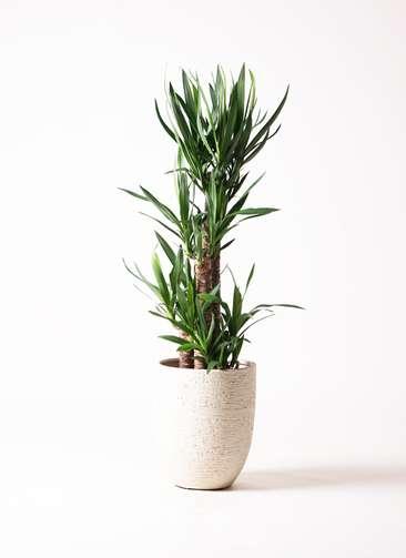 観葉植物 ユッカ 8号 ノーマル ビアスアルトエッグ 白 付き