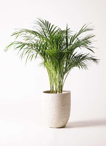 観葉植物 アレカヤシ 8号 ビアスアルトエッグ 白 付き