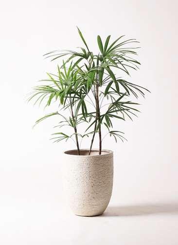 観葉植物 シュロチク(棕櫚竹) 8号 ビアスアルトエッグ 白 付き