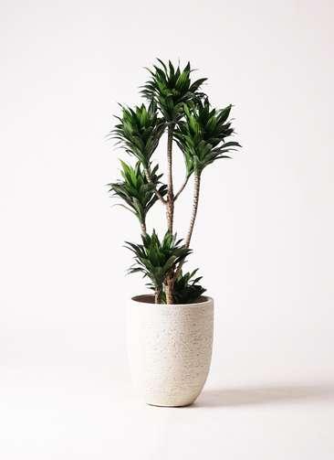 観葉植物 ドラセナ コンパクター 8号 ビアスアルトエッグ 白 付き