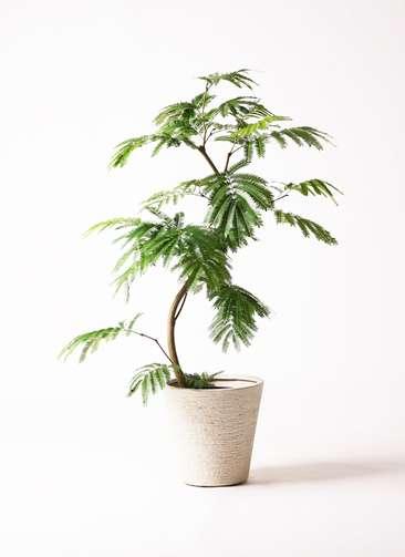 観葉植物 エバーフレッシュ 8号 曲り ビアスソリッド 白 付き