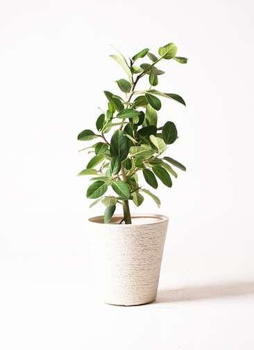 観葉植物 フィカス ベンガレンシス 7号 ストレート ビアスソリッド 白 付き