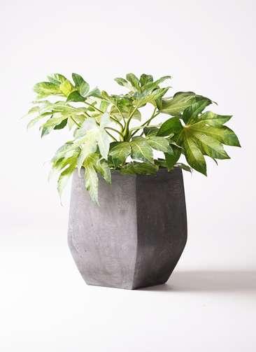 観葉植物 ヤツデ 7号 ファイバークレイ Gray 付き