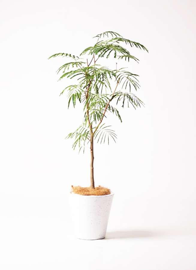 観葉植物 エバーフレッシュ 8号 ボサ造り フォリオソリッド 白 付き