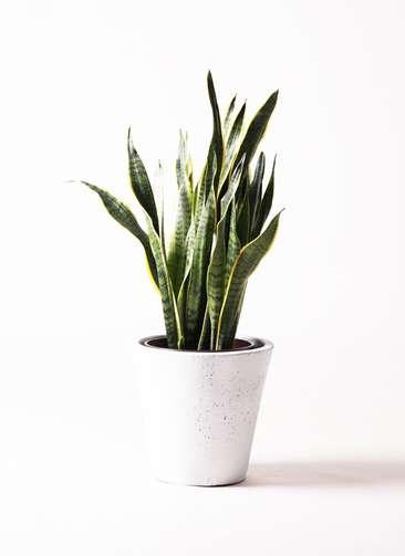 観葉植物 サンスベリア 8号 トラノオ フォリオソリッド 白 付き