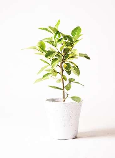 観葉植物 フィカス アルテシーマ 7号 ストレート フォリオソリッド 白 付き
