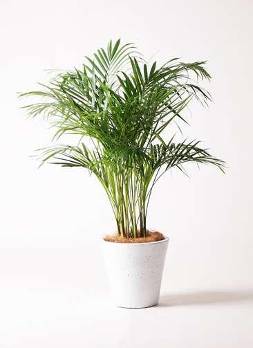 観葉植物 アレカヤシ 8号 フォリオソリッド 白 付き