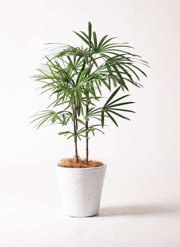 観葉植物 シュロチク(棕櫚竹) 8号 フォリオソリッド 白 付き