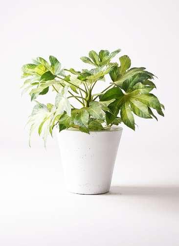 観葉植物 ヤツデ 7号 フォリオソリッド 白 付き