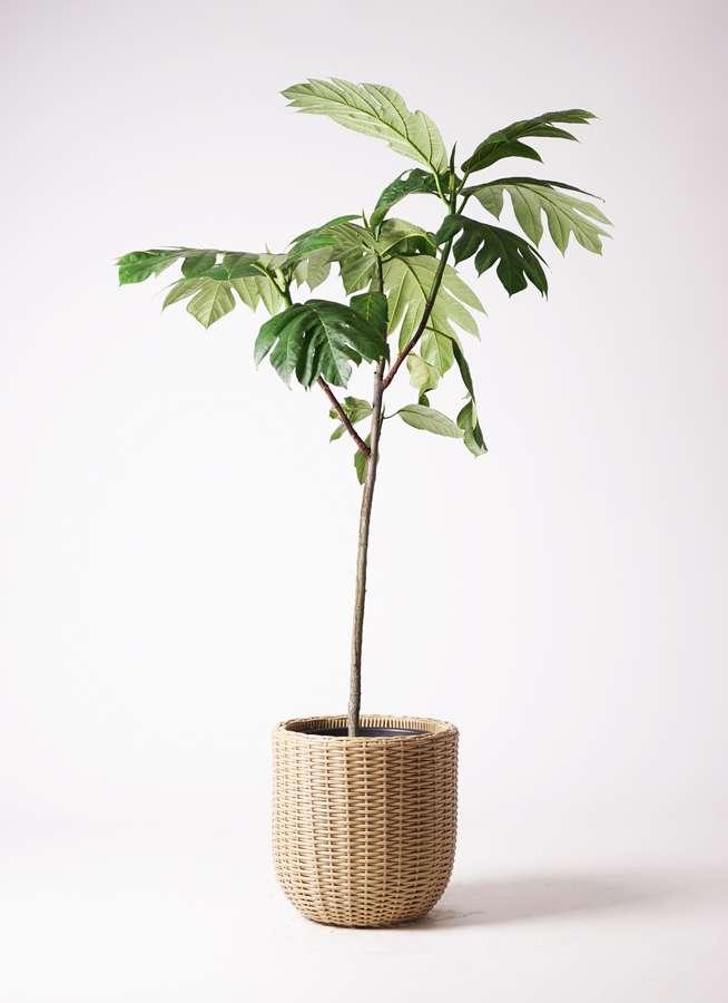 観葉植物 パンノキ 8号 ウィッカーポットエッグ ベージュ 付き