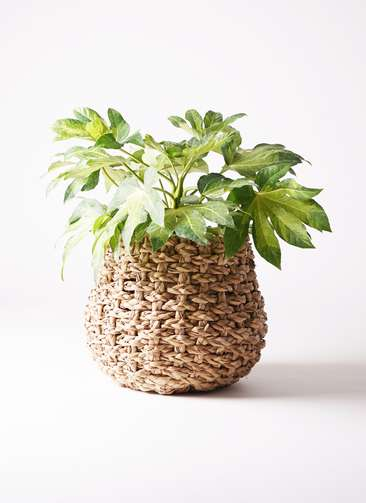 観葉植物 ヤツデ 7号 ラッシュバスケット Natural 付き