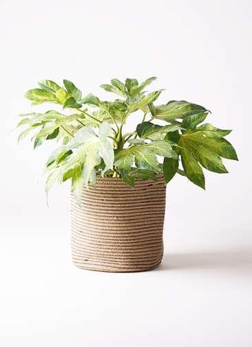 観葉植物 ヤツデ 7号 リブバスケットNatural 付き