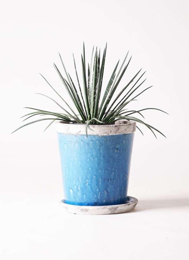 観葉植物 アガベ 6号 ジェミニフローラ アンティークテラコッタBlue 付き