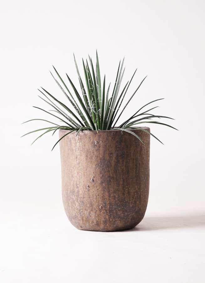 観葉植物 アガベ 6号 ジェミニフローラ ビトロ ウーヌム コッパー釉 付き