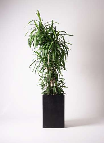 観葉植物  コルディリネ (コルジリネ) ストリクタ 10号 10号 セドナロング 墨 付き