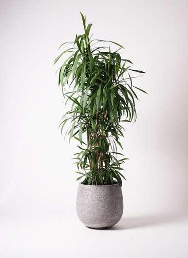 観葉植物  コルディリネ (コルジリネ) ストリクタ 10号 10号 エコストーンGray 付き