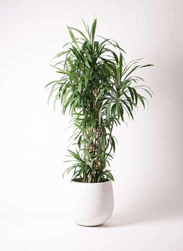観葉植物  コルディリネ (コルジリネ) ストリクタ 10号 10号 エコストーンwhite 付き