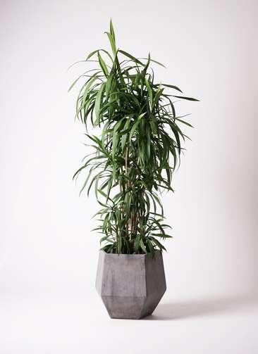 観葉植物  コルディリネ (コルジリネ) ストリクタ 10号 10号 ファイバークレイGray 付き
