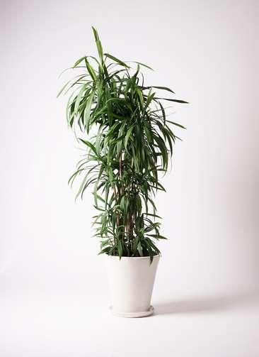 観葉植物  コルディリネ (コルジリネ) ストリクタ 10号 10号 サブリナ 白 付き