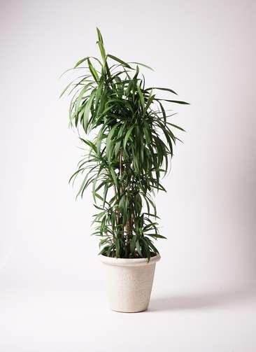 観葉植物  コルディリネ (コルジリネ) ストリクタ 10号 10号 ビアスリムス 白 付き