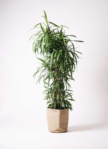 観葉植物  コルディリネ (コルジリネ) ストリクタ 10号 10号 リブバスケットNatural 付き