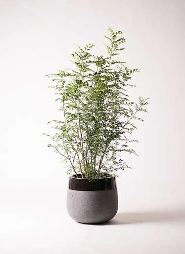 観葉植物 シマトネリコ 8号 ファイバーストーンタウルス 黒 付き